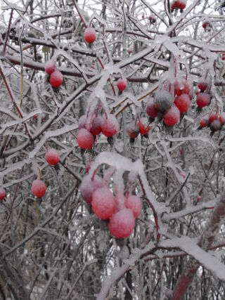 Frostyberries