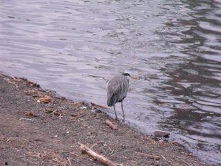 Heron on willamette