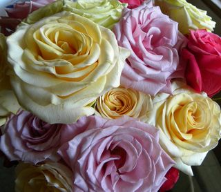 Roses open