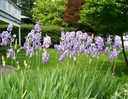 Irises_a_plenty
