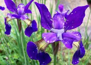 Irises_after_rain