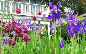 Irises_and_columbines