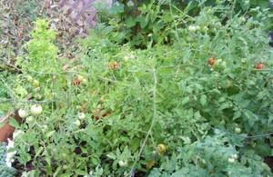 Tomato_garden