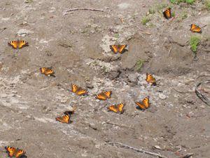 Lots_of_butterflies