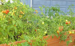 Tomaters_1