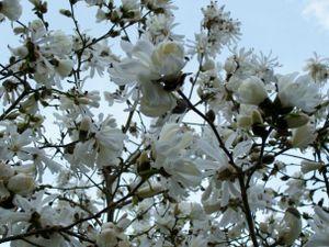 White_magnolias